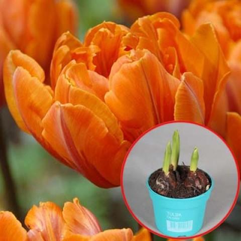 Тюльпан Orange Princess (горшок 9 см) фото