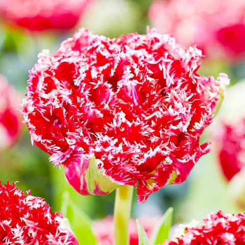 Тюльпан Qatar фото