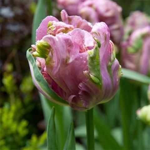 Тюльпан Rai фото