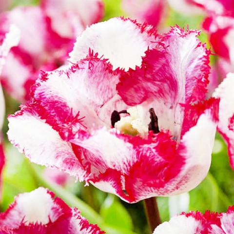 Тюльпан Raspberry Ripple фото