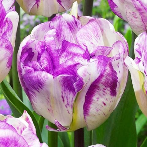 Тюльпан Shirley Double фото