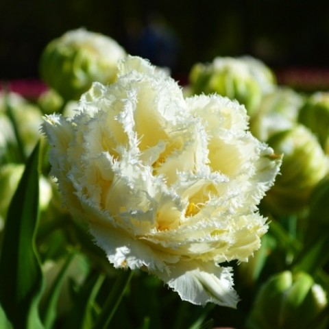 Тюльпан Snow Crystal фото