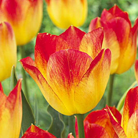 Тюльпан Suncatcher фото