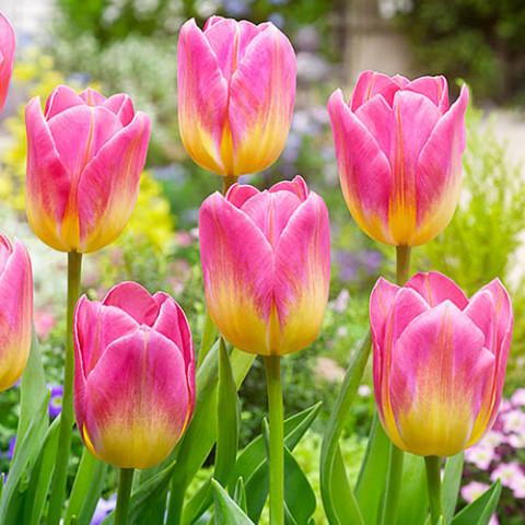 Тюльпан Tom Pouce фото