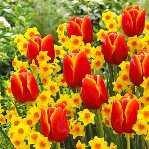 Тюльпан Verandi фото