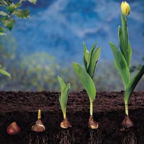 Тюльпаны Зеленоцветные Микс 100 фото