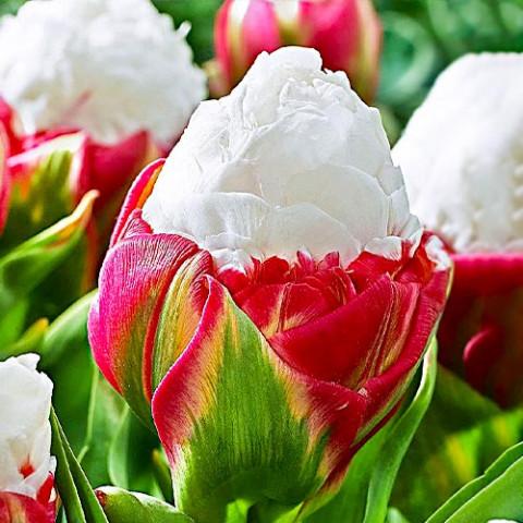Тюльпан Ice Cream (Айс Крим/Пломбир) фото