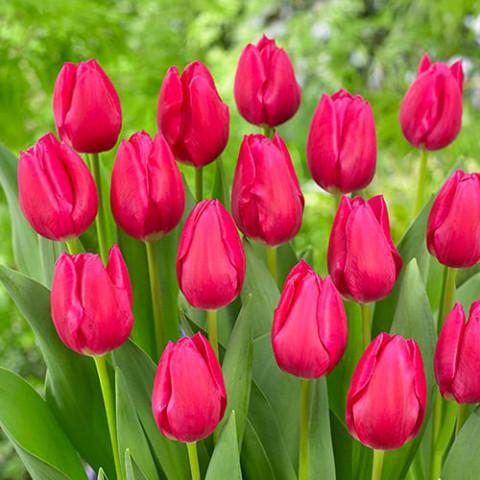 Тюльпан Pink Ardour фото