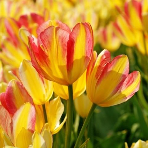 Тюльпан Antoinette фото