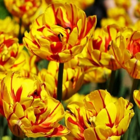 Тюльпан Golden Nizza фото
