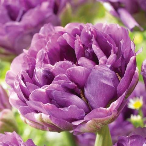 Тюльпан Blue Burst фото