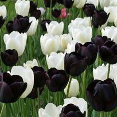 Тюльпаны Black and White фото