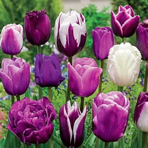 Тюльпаны Монет Микс фото