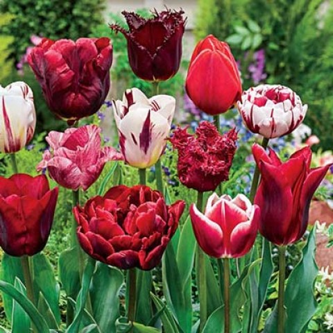Тюльпаны Вариация Микс фото
