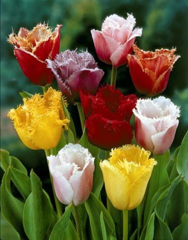 Тюльпан Бахромчатые Микс фото