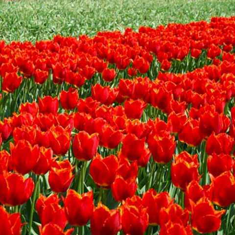 Тюльпан I to Holland фото