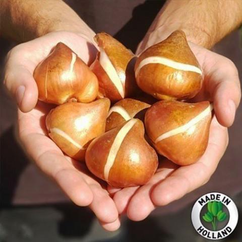 Промо-пак Тюльпан Botanical Mixed (Брендовые луковицы KAPITEYN®) фото