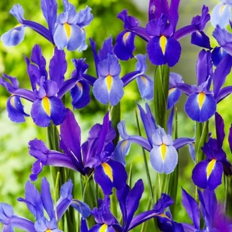 Ирис Hollandica Discovery Purple фото