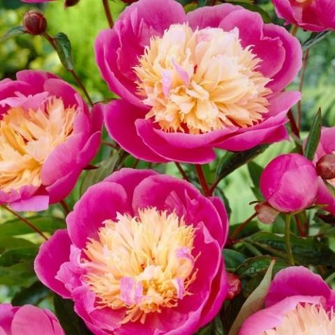 Пион Bowl of Beauty фото