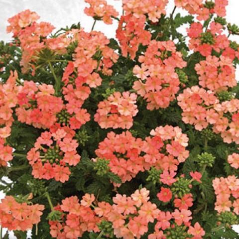 Вербена Estrella Peach фото
