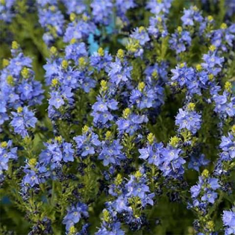 Вероника Venice Blue фото