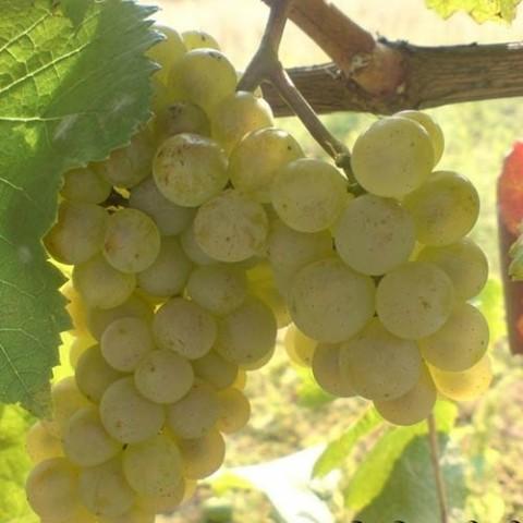Виноград Алиготе фото