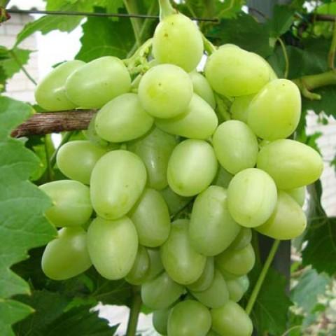 Виноград Аркадия  фото