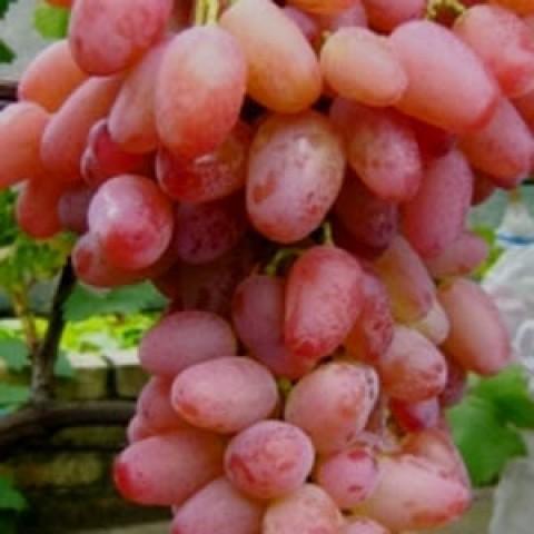Виноград Гелиос фото