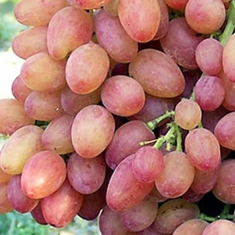 Виноград Кишмиш Лучистый фото