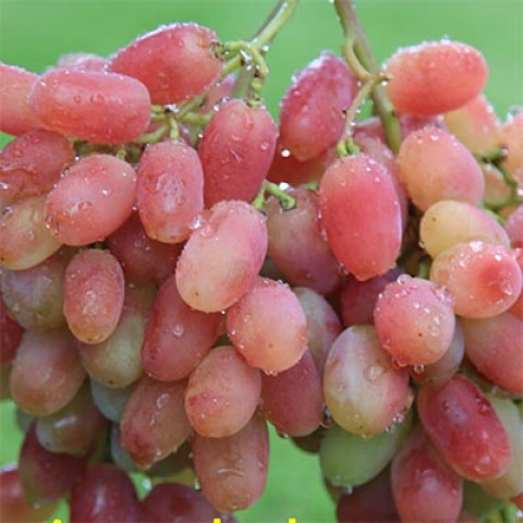 Виноград Преображение фото