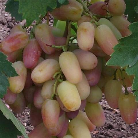 Виноград Сенсация фото