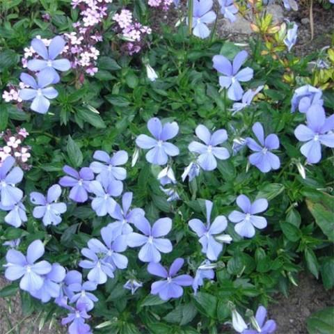 Виола Boughton Blue фото