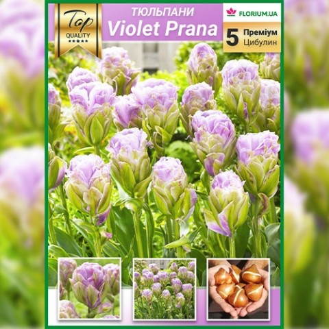 Тюльпан Violet Pranaa (Премиум Луковицы) фото