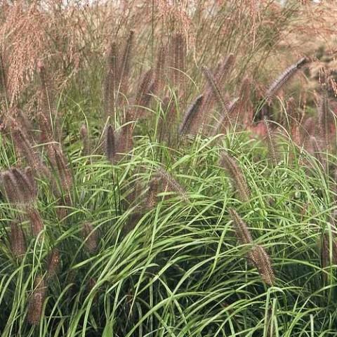 Пеннисетум Viridescens фото