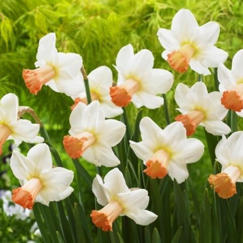 Нарцисс Skype фото