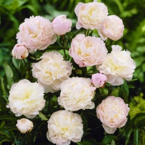 Пион Shirley Temple фото