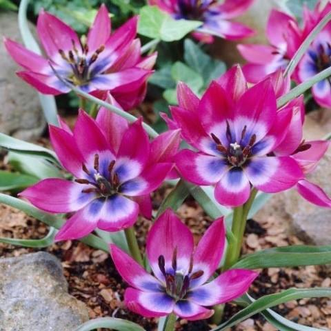 Тюльпан Little Beauty фото