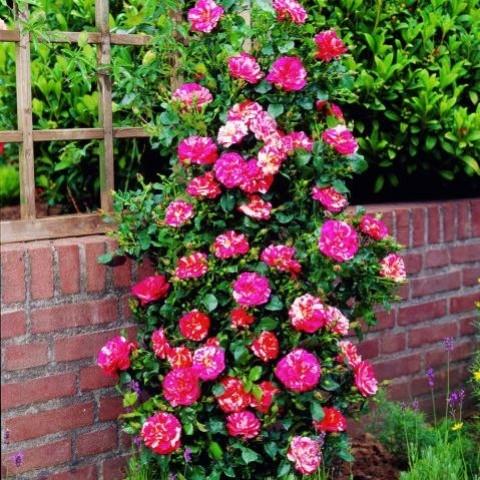 Роза Twist фото