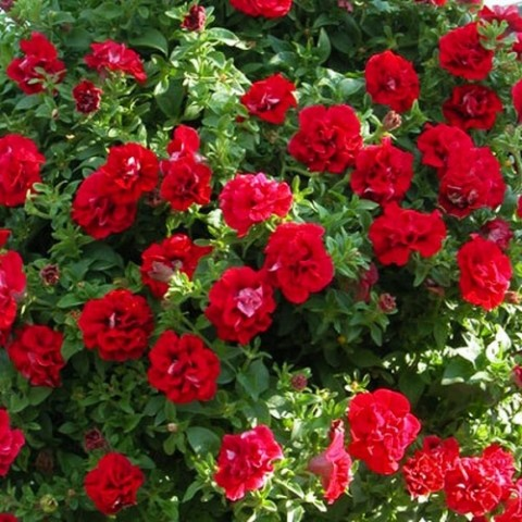 Петуния Viva Double Red фото