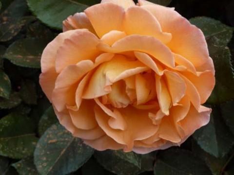 Роза Whiskey фото