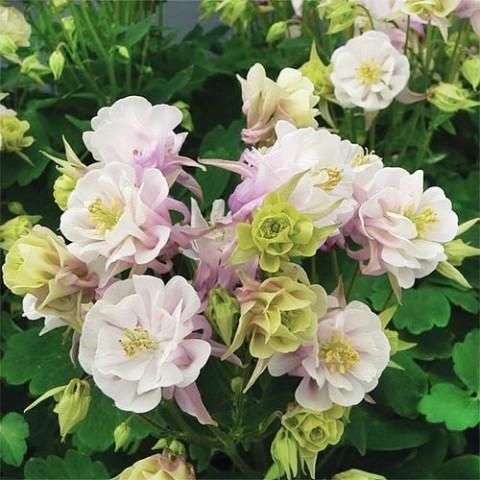Аквилегия Winky Double Rose & White фото