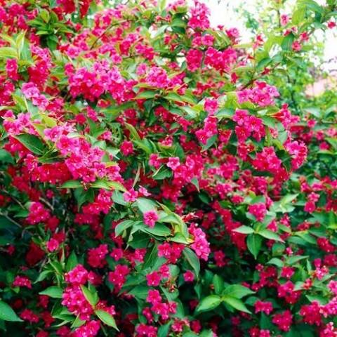 Вейгела Bristol Ruby фото
