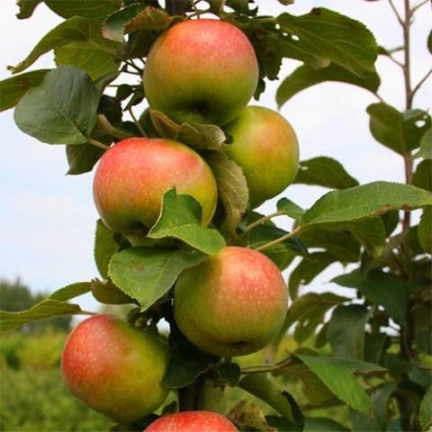 Яблоня колоновидная Останкино фото