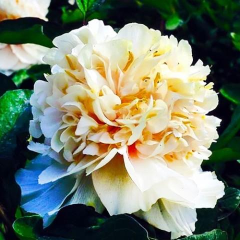 Пион Yaos Yellow Yao Huang древовидный фото