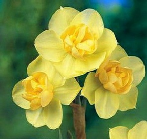 Нарцисс Yellow Cheerfulness фото