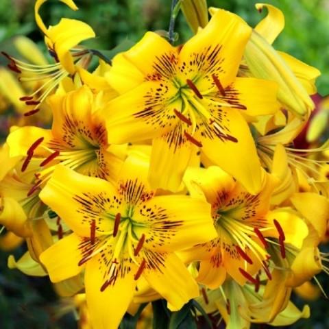Лилия Yellow Bruse фото
