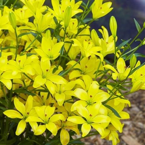 Лилия Yellow Cocotte фото