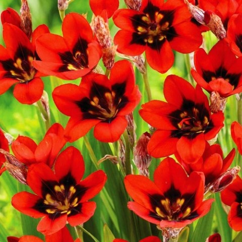 Спараксис Red Reflex фото