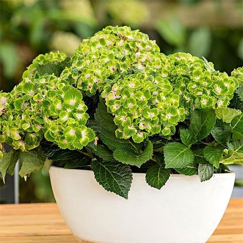 hydrangea-rebmbrant--vibrant-verde-1.jpg
