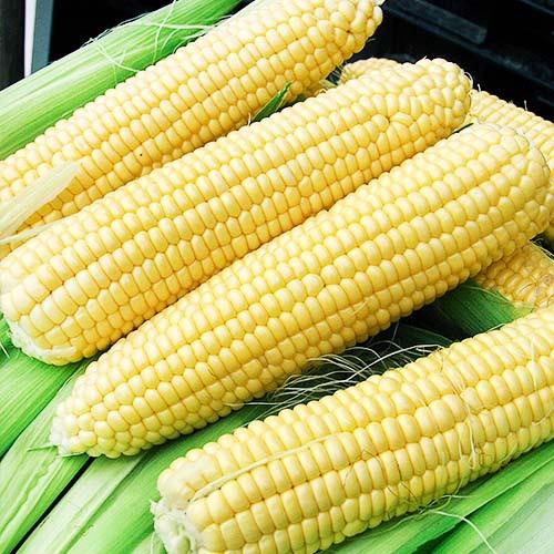 Кукуруза в зеленом конвейере подземный конвейер